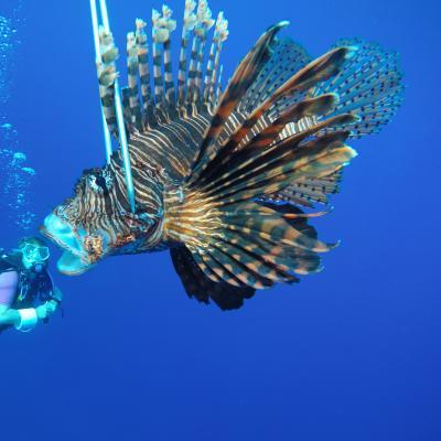 De uitheemse koraalduivel wordt gevangen om het leven in de oceaan in Belize te beschermen op het natuurbescherming project